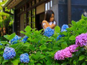 梅雨を楽しむ方法!府中市郷土の森博物館でのアジサイ観賞|東京都|トラベルjp<たびねす>