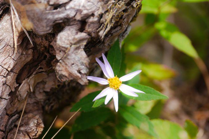 高山に住む蝶、高山植物を見つけてみよう!
