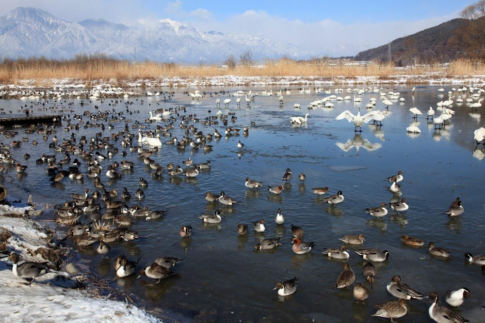 白鳥も羽を休める水鳥の楽園