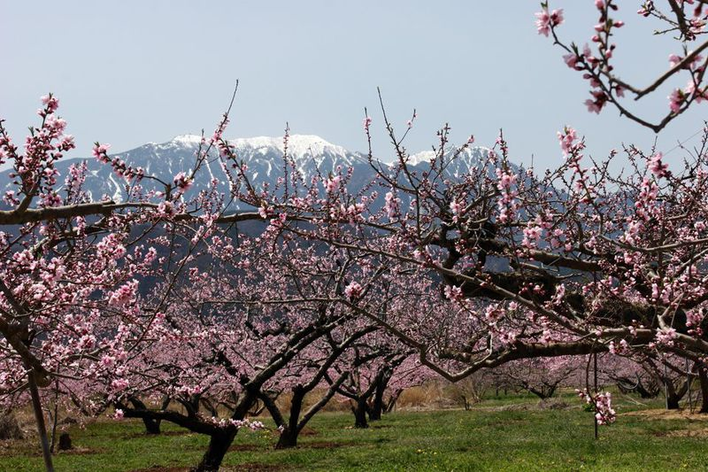 桃と桜が競演する、山梨の桃源郷で春爛漫の一日を楽しむ