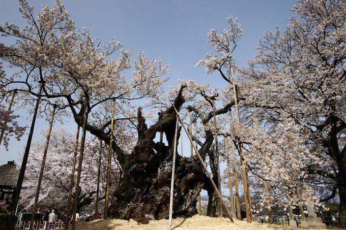 パワースポットと言える桜の巨木を訪ねる