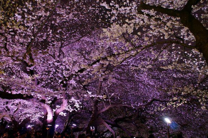 約700mの桜のトンネルが見事!