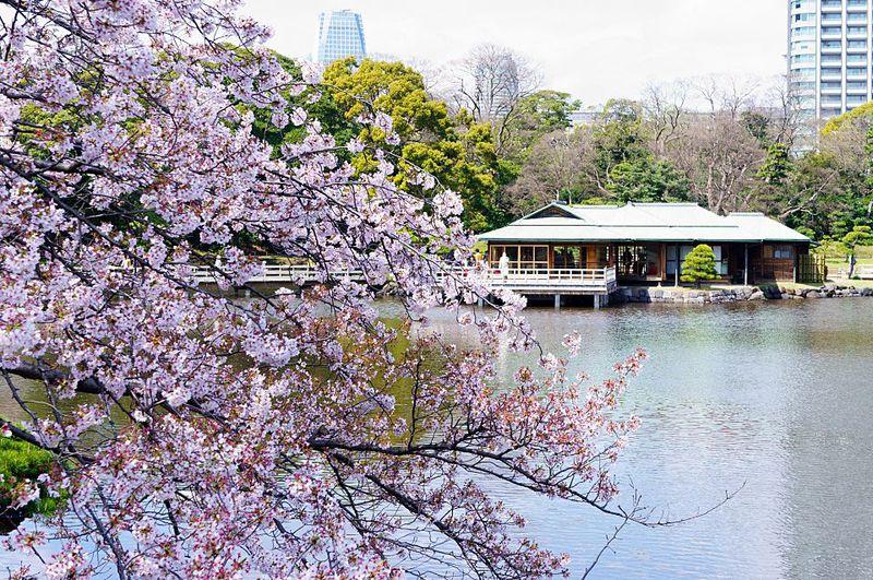 意外と穴場!?東京・浜離宮恩賜庭園で優雅に桜のお花見