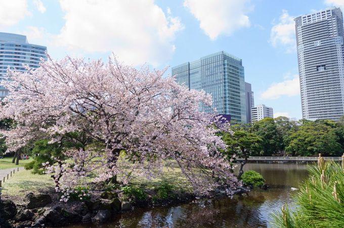 桜の種類が豊富で長期間お花見を楽しめる庭園!