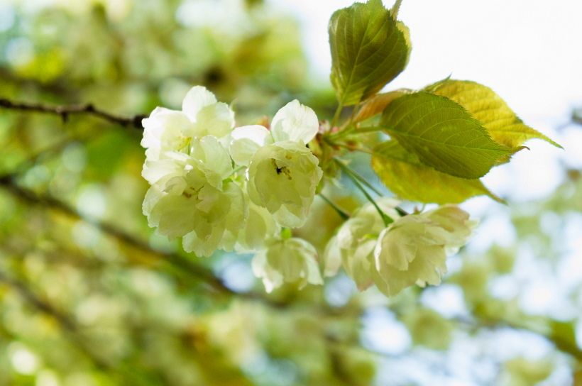 GWは甘酒が振る舞われる「桜まつり」が開催