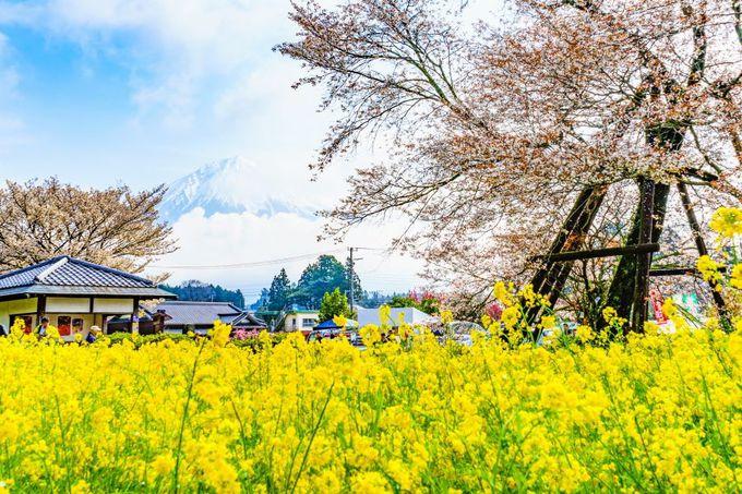 静岡県富士宮市の絶景!下馬桜・菜の花・富士山の競演