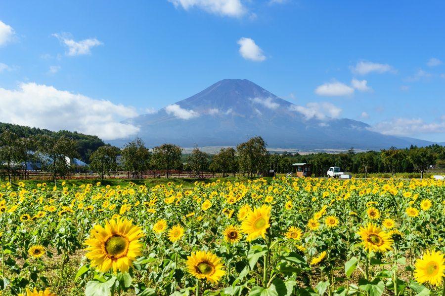 夏の魅力〜色鮮やかに咲き誇る百日草とヒマワリ!