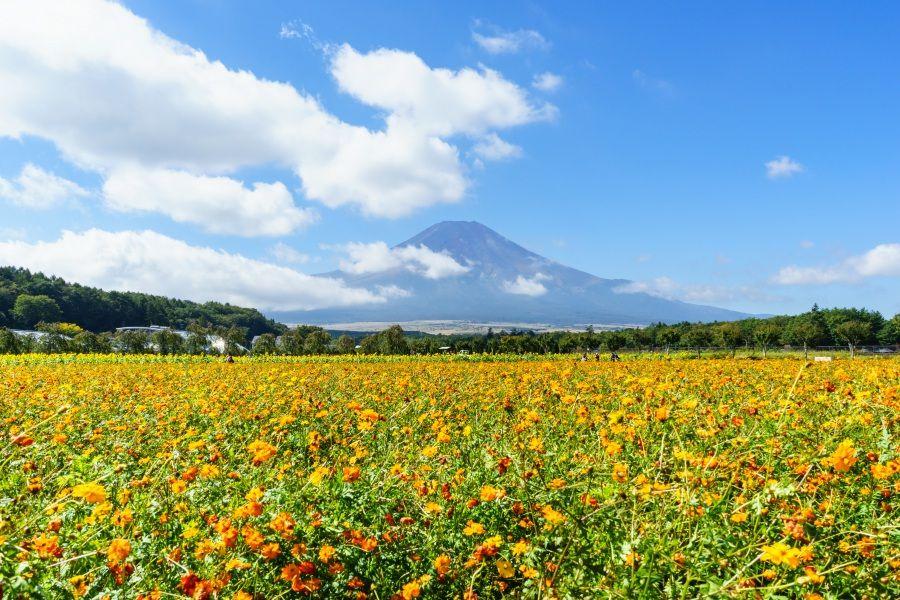 秋の魅力〜まるで絨毯のように彩られたキバナコスモス畑