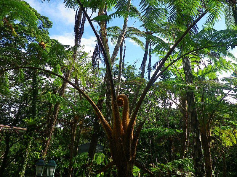 太古の巨大植物 ヒカゲヘゴの原生林『やんばる憩いの森』