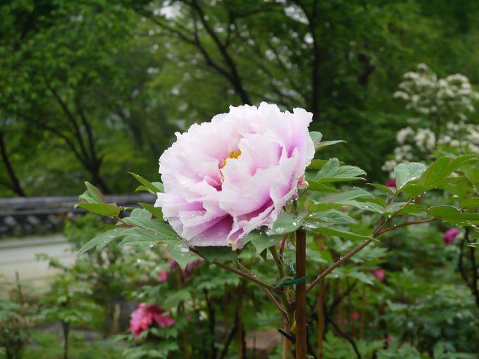 なんと150種・7000株の牡丹が境内に咲き誇る!