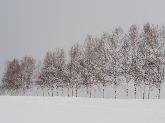 白樺の並木道