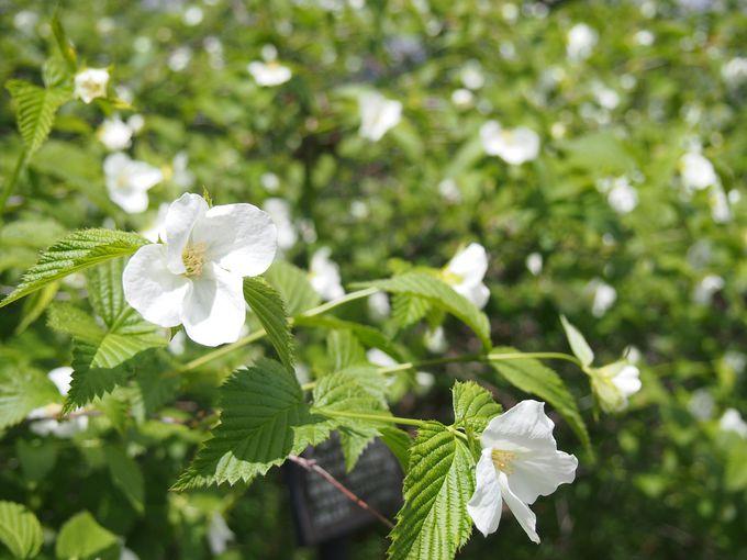 素朴に咲く白の山吹