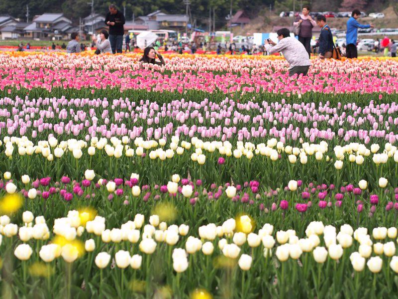 兵庫・但馬の春の旅!たんとうチューリップまつりと出石観光