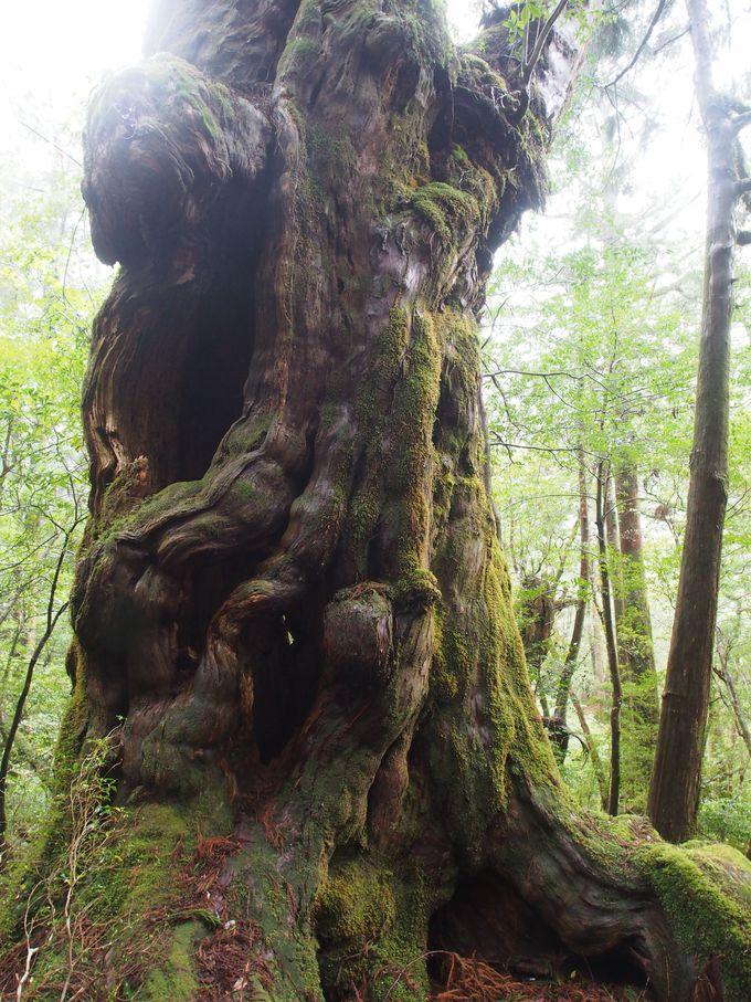 ヤクスギランドの住人「仏陀杉」