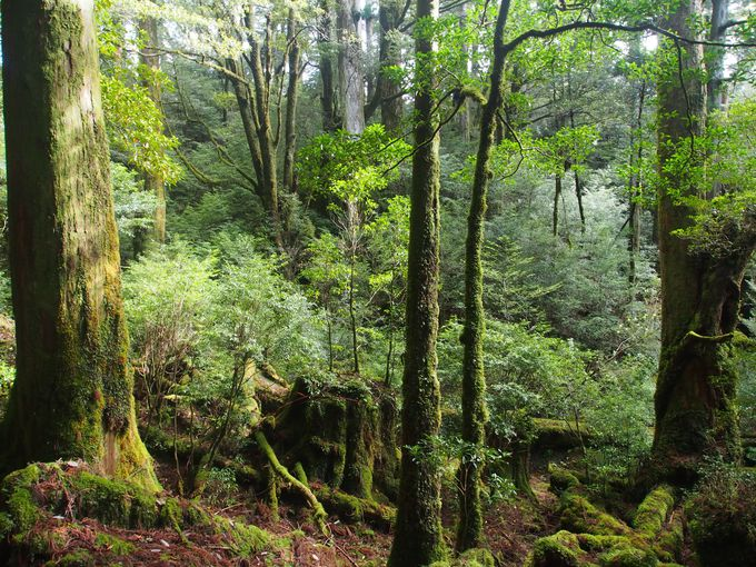 未来の屋久杉候補たちの森、小花山エリア