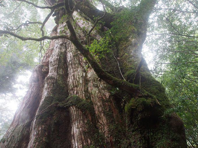 屋久島に長寿の杉が育つ理由