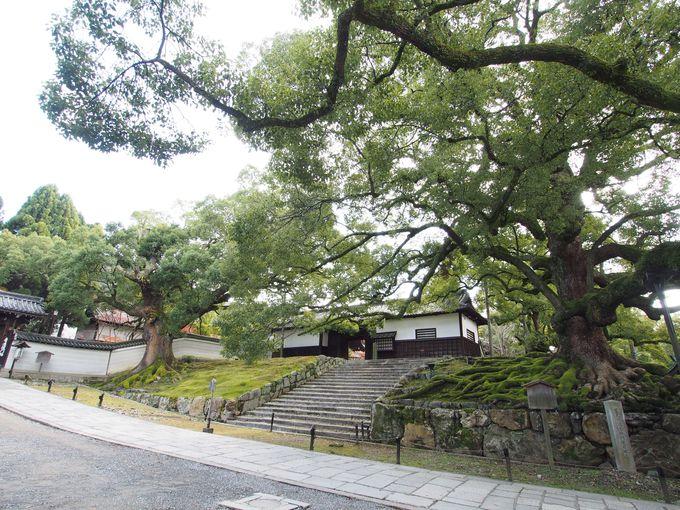 いきなり天然記念物!巨大な楠木が出迎える門前