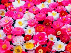 桜だけじゃない!京都「哲学の道」春の散歩は椿を見にいこう!|京都府|トラベルjp<たびねす>