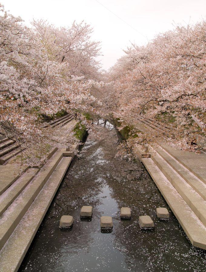 さくらまつりの会場にもなる元荒川の桜並木