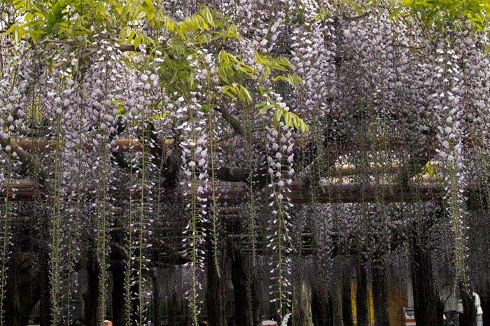 弘法大師がお手植えした?樹齢1200年の牛島の藤