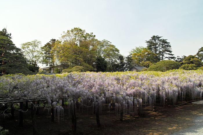 樹齢1200年!国内最大級 牛島の藤に逢いに春日部市「藤花園」へ