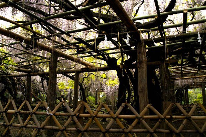 根元周囲10メートル超の特別天然記念物