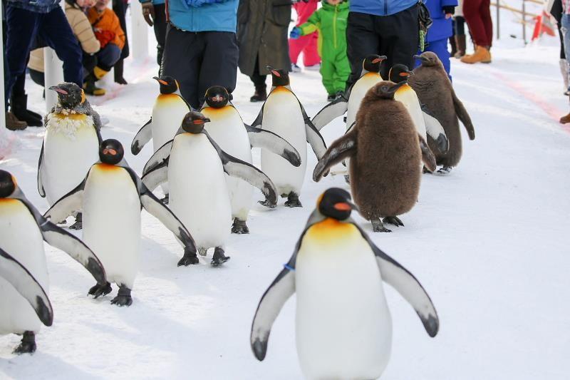 冬限定ペンギンの散歩と水中トンネルは必見!旭山動物園