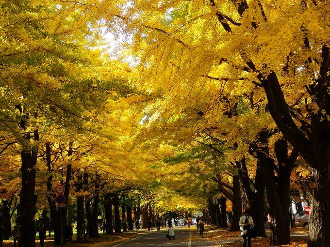 秋の観光スポット「銀杏並木」