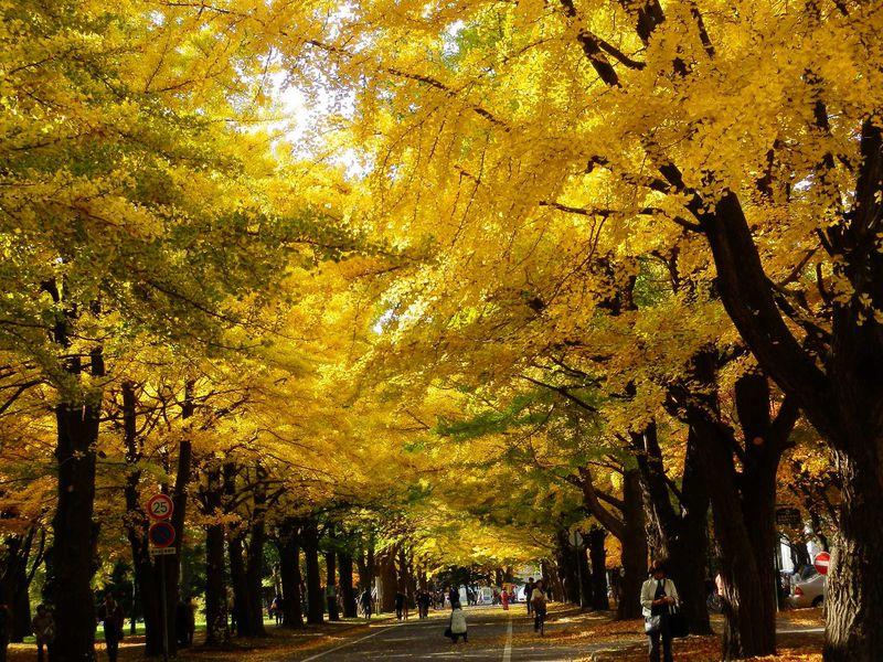 北海道大学の「銀杏並木」は最高です
