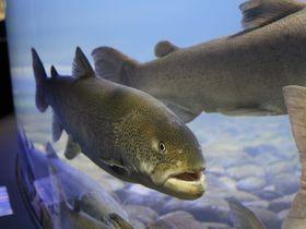 川が凍る水槽「おんねゆ温泉・山の水族館」|北海道|トラベルjp<たびねす>