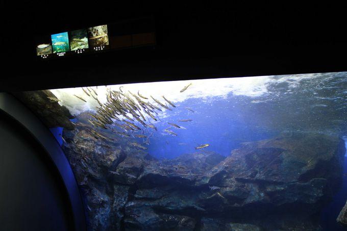 日本初「滝つぼ水槽」で泳ぐ魚