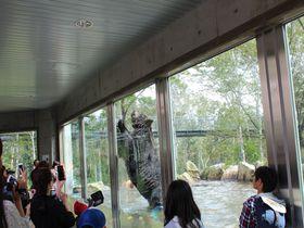間近でエゾヒグマを観察!十勝サホロ「ベア・マウンテン」|北海道|トラベルjp<たびねす>