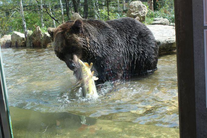 鮭を獲るエゾヒグマ