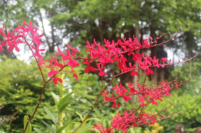 「VIP蘭園(VIP Orchid Garden )」も必見!