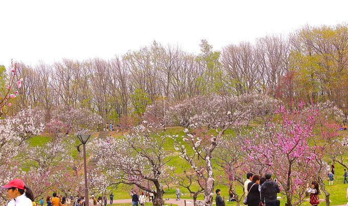 壮観な梅林の景色を楽しもう