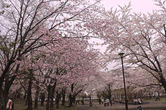 桜のトンネルを渡ろう!