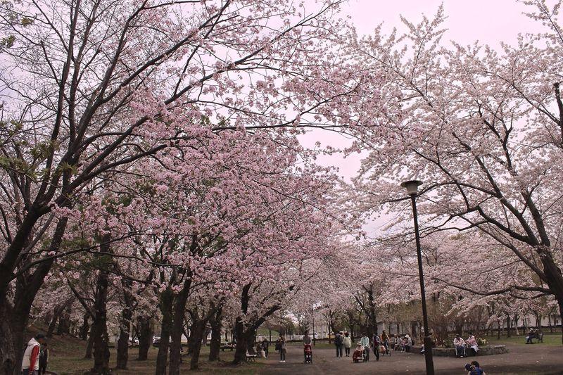 家族でお花見「札幌農試公園」は桜トンネルや懐かしのSLも!