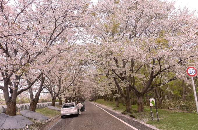 桜のトンネルは人気スポット