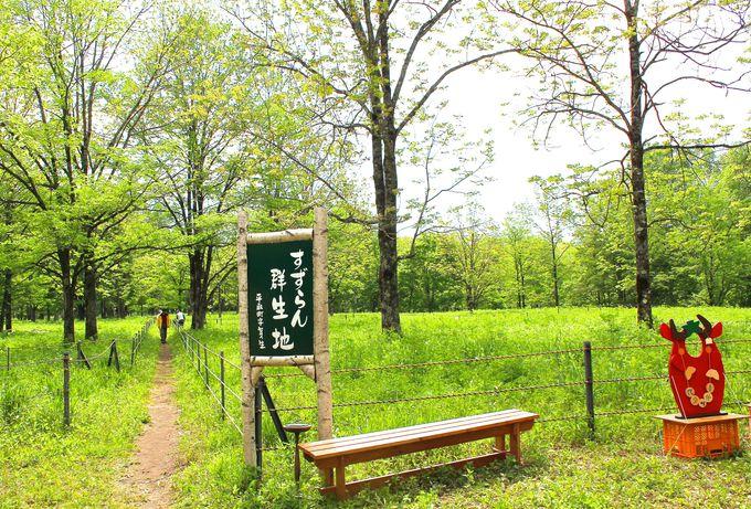 日本一の広さを誇る野生の「すずらん群生地」!