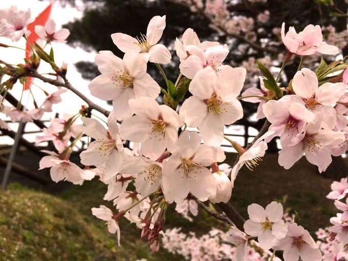 城内の桜を鑑賞しよう!