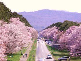 日本一の桜並木はエゾヤマザクラが3000本!北海道「静内二十間道路」|北海道|トラベルjp<たびねす>