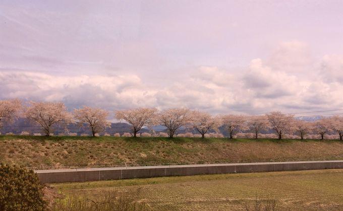 2000本の壮大な桜並木が続きます!