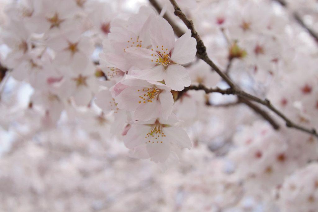 加治川治水記念公園の桜のトンネルも!
