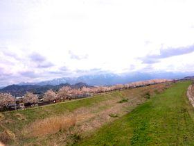 かつては日本一!新潟県「加治川」の2000本の桜並木が美しい!|新潟県|トラベルjp<たびねす>