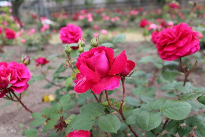 食べる為のバラを育てる「ロズビィのバラ畑」!