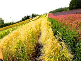 北海道中富良野「ファーム富田」絶景お花畑と必食スイーツ
