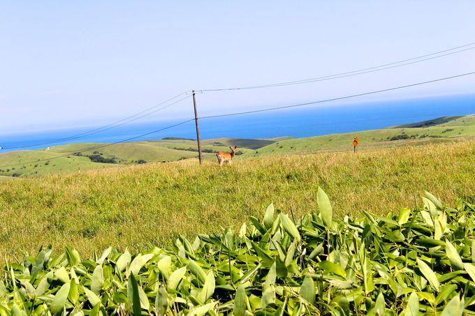 放牧牛やエゾ鹿との遭遇!