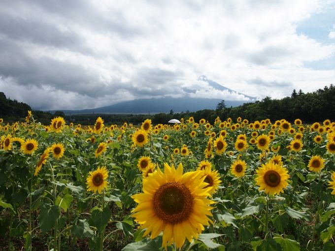 山中湖花の都公園、咲き乱れる季節の花のバックにそびえる富士山!