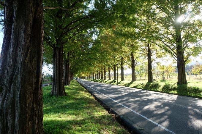 新・日本の街路樹百景!四季を通じて楽しめるメタセコイア並木