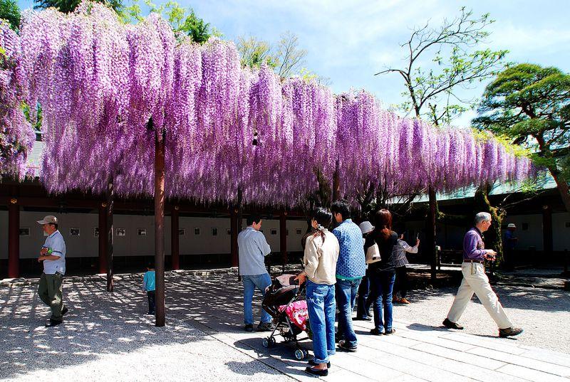 茨城「笠間稲荷神社」樹齢四百年、葡萄の房のような八重の藤と本殿美麗彫刻は必見!